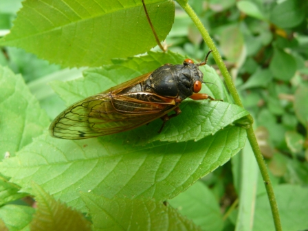 Sewanee cicada: ours are on the thirteen year plan.
