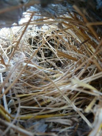 bald faced hornet nest inside from bottom