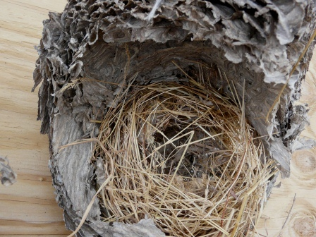 bald faced hornet nest inside