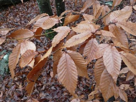 beech copper