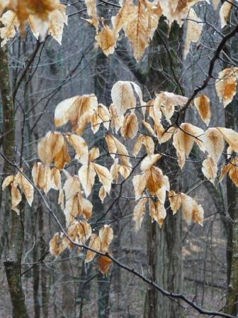 winter beech