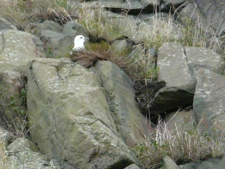 Northern Fulmar, getting its nesting area ready for spring. The bird is lodged way up a cliff. Any mammal skilled enough to climb up there will be rewarded with a face-full of vomited fish oil. Welcome to Edinburgh, laddie.