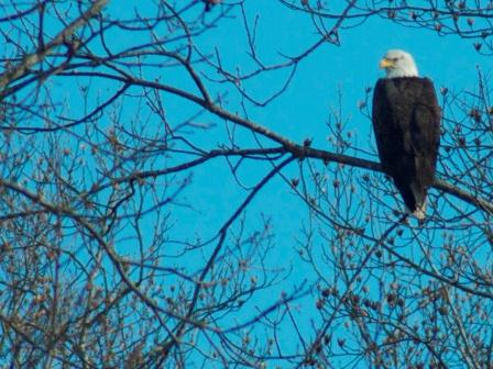 Adult bald eagle. Photo taken by Jamie Sue Wilson who is enrolled in the class.
