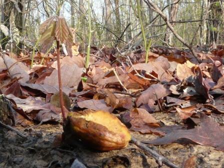 chestnut oak seedling
