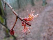 Male red maple flower