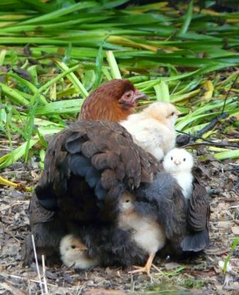 brown betty with chicks