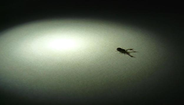 2013-06-13 pseudoscorpion 001