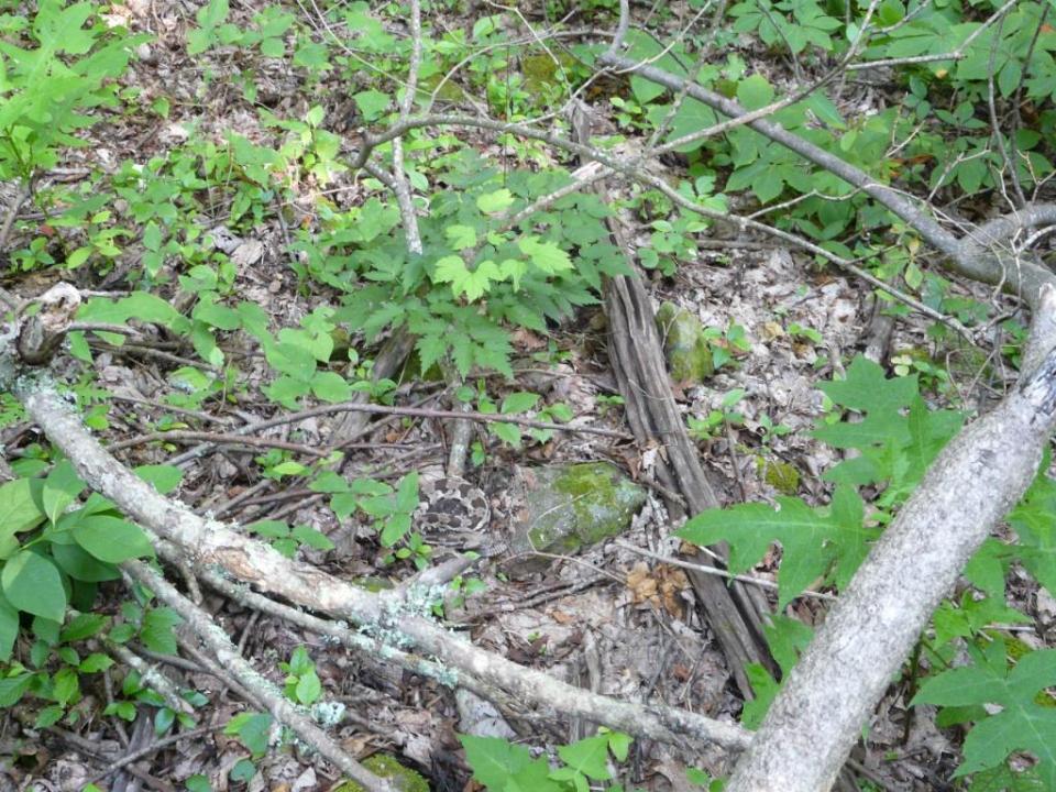 2013-06-20 rattlesnake ash 008