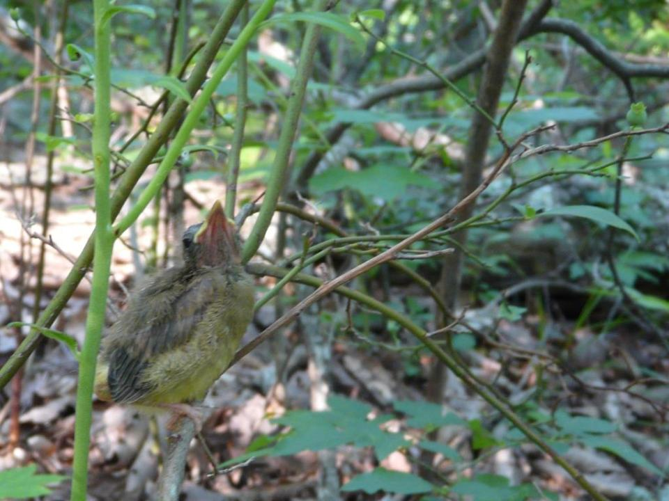 fledgling hooded warbler