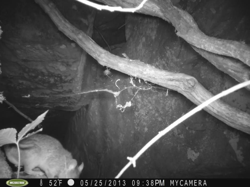 """A nighttime visitor: what appears to be an Allegheny woodrat (Neotoma magister). This species is one of the """"packrats"""" that make big nests. It is in decline over much of its range due to habitat loss and raccoon-transmitted parasites. Woodrats love rocky jumbles."""