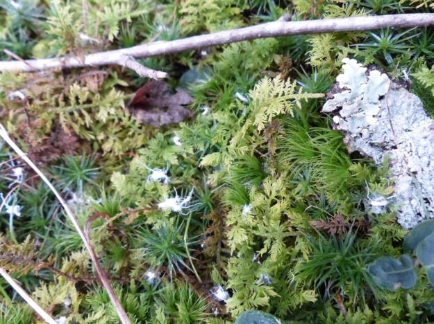 Discarded strands of Beech Aphid wax on the mosses and lichens below the aphid colony