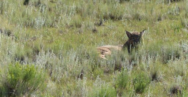 Bobcat. Florrisant Fossil Beds National Monument.