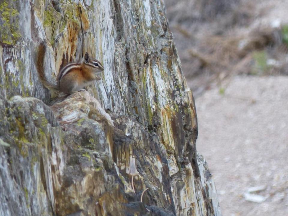Colorado Chipmunk. Florrisant Fossil Beds National Monument.