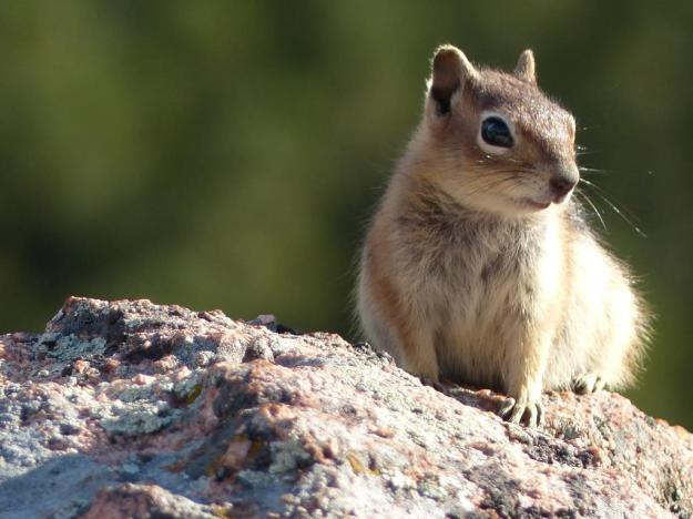 Golden-mantled ground squirrel. Mueller State Park, Colorado.