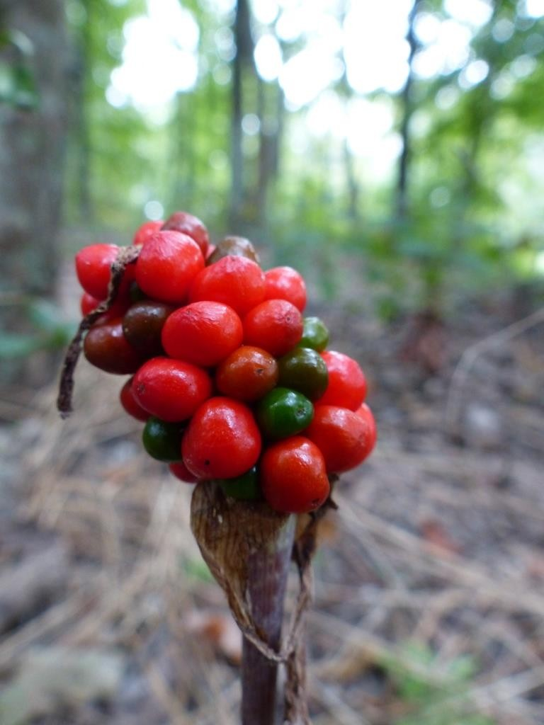 Jack-in-the-pulpit fruits (Arisaema triphyllum)