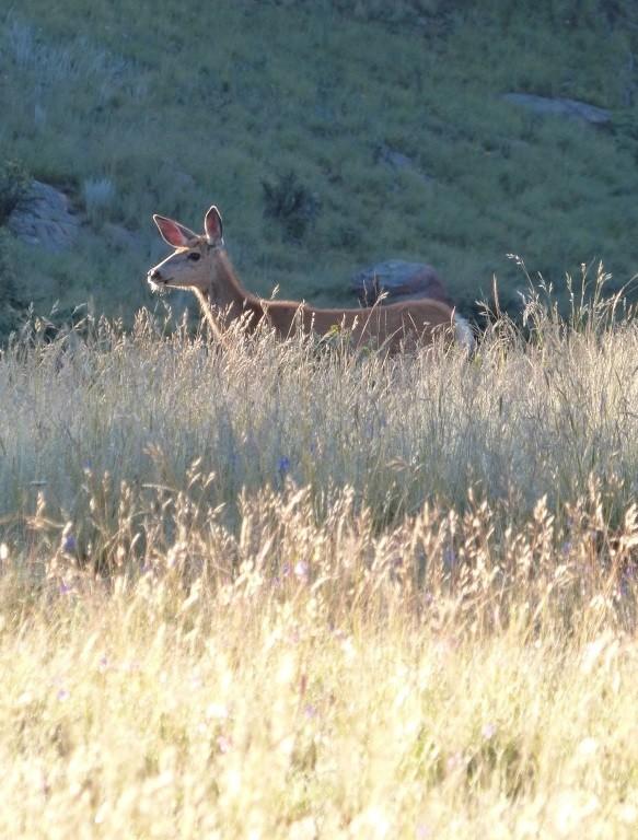 Mule Deer. Mueller State Park.