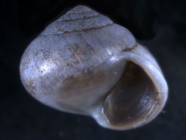 Oligyra orbiculata with operculum protecting the shell aperture.