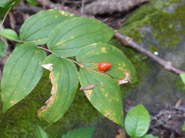 prosartes lanuginosa fruit