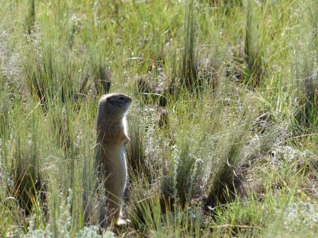 Richardson's Ground Squirrel. Florrisant Fossil Beds National Monument.