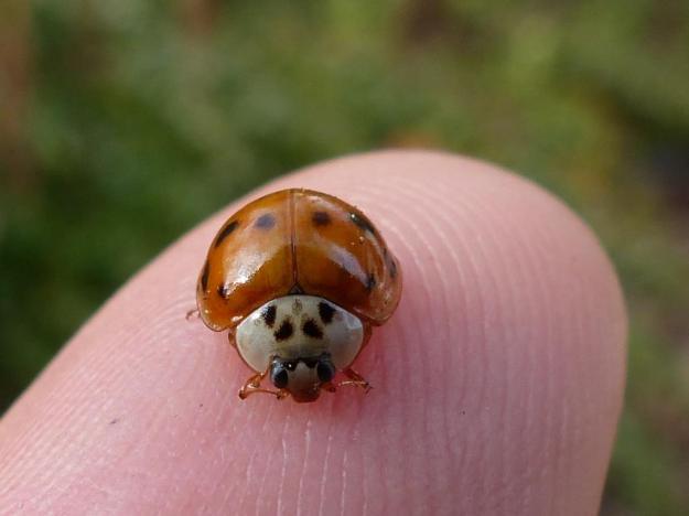 2013-10-30 ladybugs 014