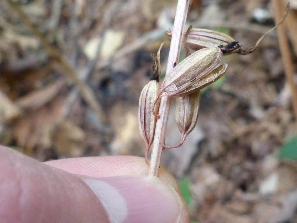 Cranefly orchid capsule, split open and shedding seeds.