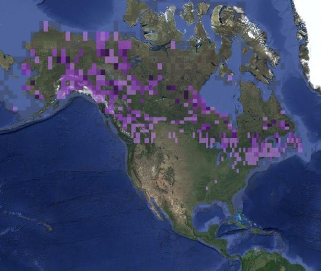 Range of the rusty blackbird during June and July. Data are compiled from ebird.org. The darker purple indicates more frequent reports of birds.