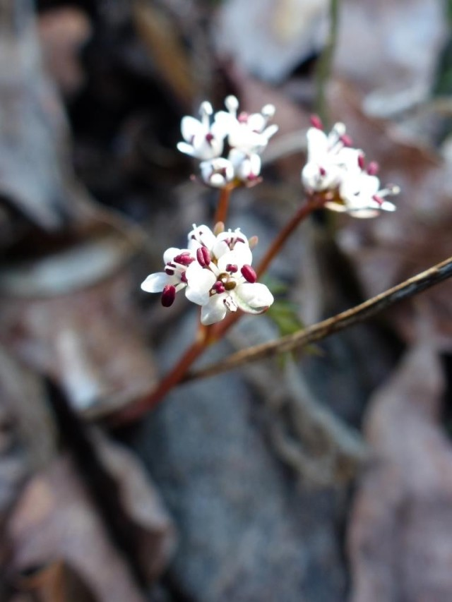 "Erigenia bulbosa, also known as ""harbinger-of-spring."" The plant's warm optimism will be greeted by temperatures in the teens tomorrow."