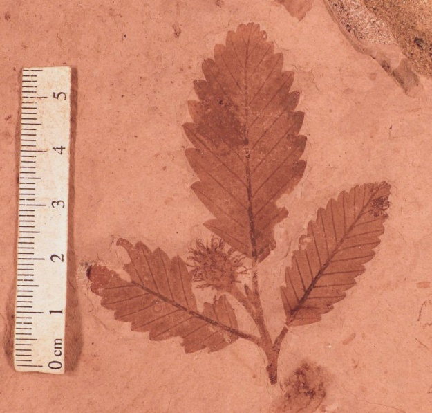 Fagopsis longifolia. Division of Paleobotany, YPM 30121. Copyright 2014, Peabody Museum of Natural History, Yale University, New Haven, CT. All rights reserved.