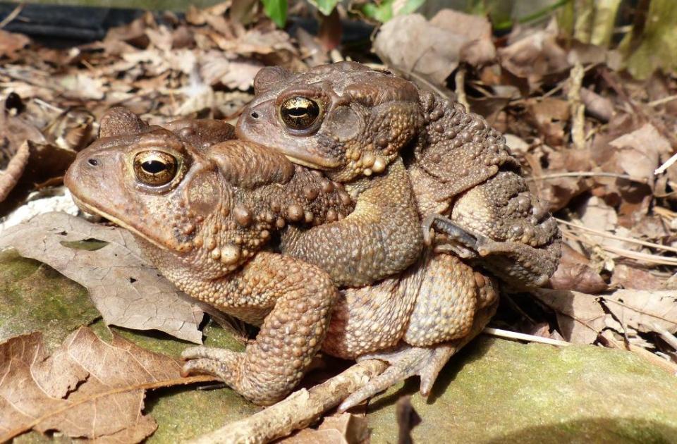 toads_amplexus