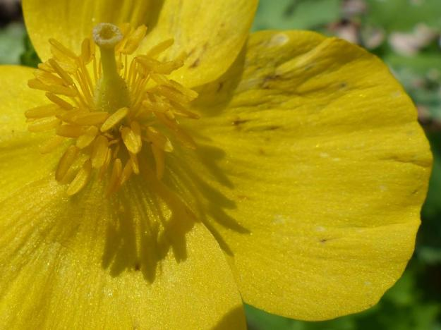 Celandine poppy. The zenith.