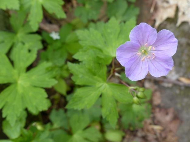 Wild geranium. A lighter shade of pale?