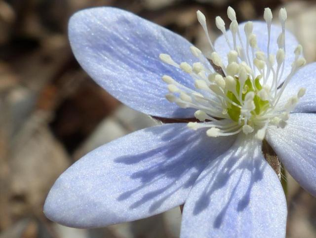 Hepatica. Most bloomed weeks ago; a few persist.