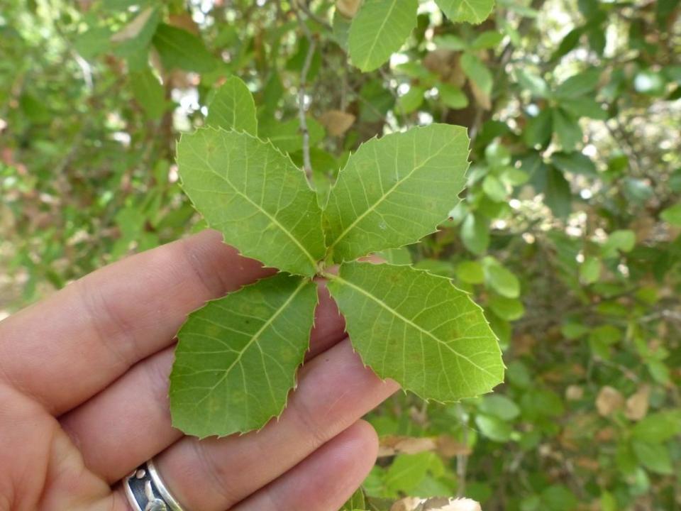 Quercus calliprinos, Valonia oak.