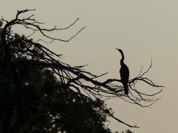 Anhinga in morning backlight