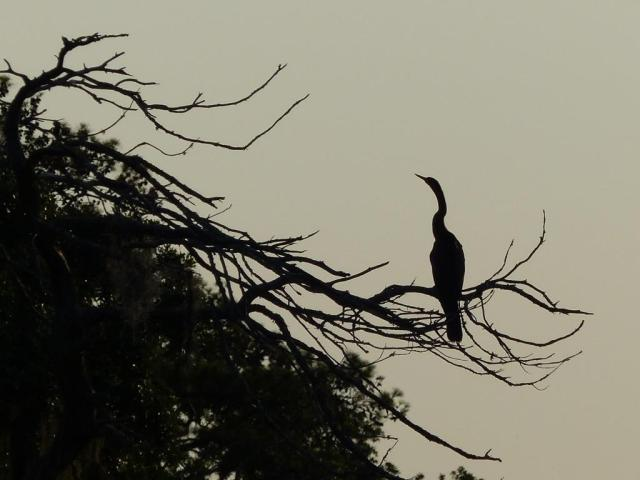 Anhinga in morning backlight