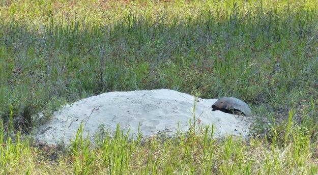 Gopher tortoise on its apron of sand. Its burrow extends many meters below the ground.