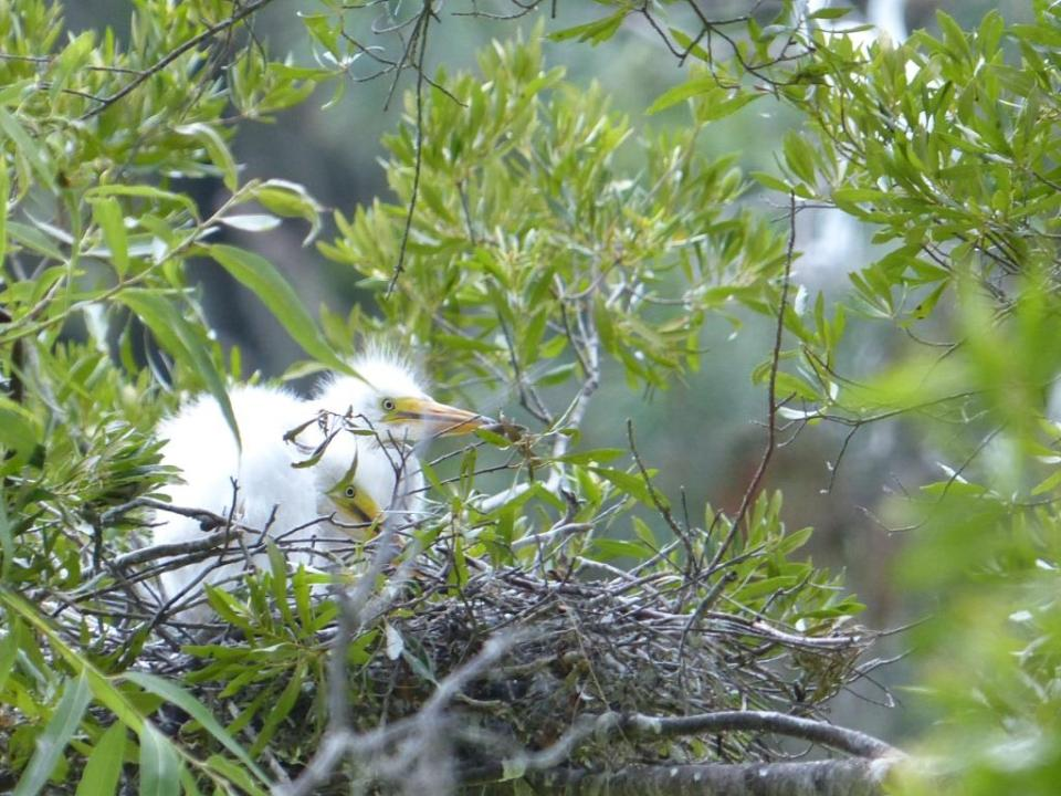 Great egret chicks.