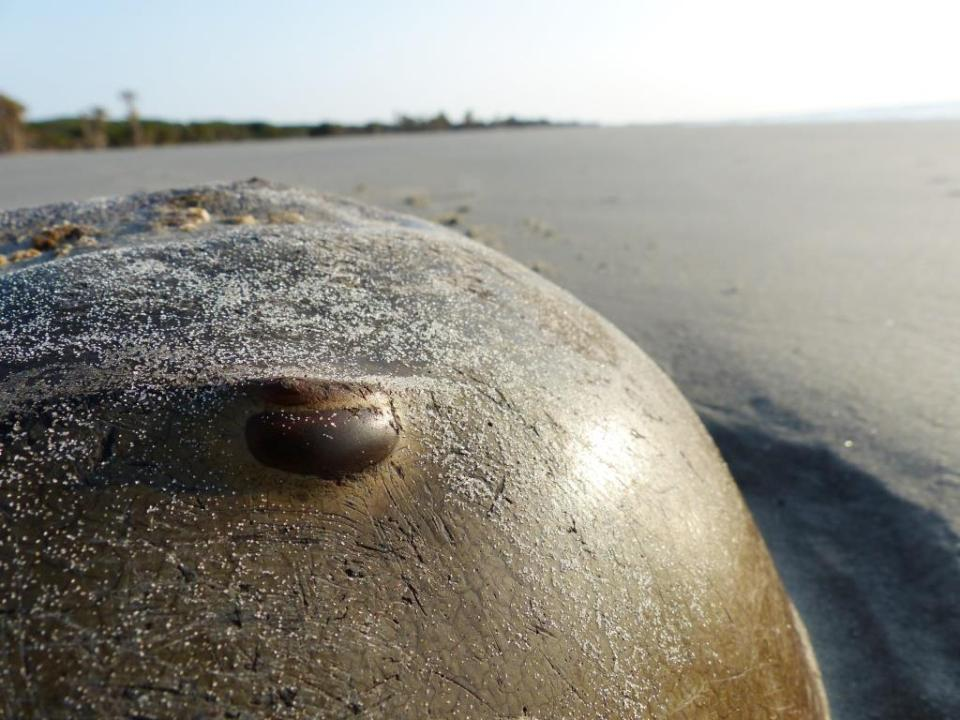 Dead horseshoe crabs eyes the beach.