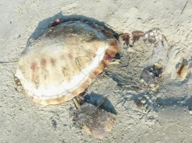 Carapace of loggerhead turtle washed up on beach. Cause of death is unclear.