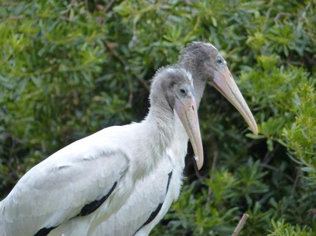 Nestling woodstorks in goofy stage. They still have fluffy heads. All these cute down will fall away to reveal the characteristic bare skin of the adult. This naked head allows them to forage in muddy water without fouling (...fowling...) their feathers.