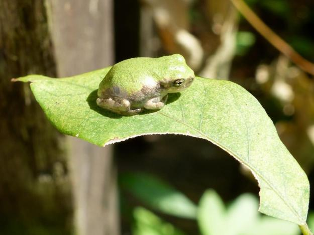 2014-08-24 Young Copes Gray Treefrog 004