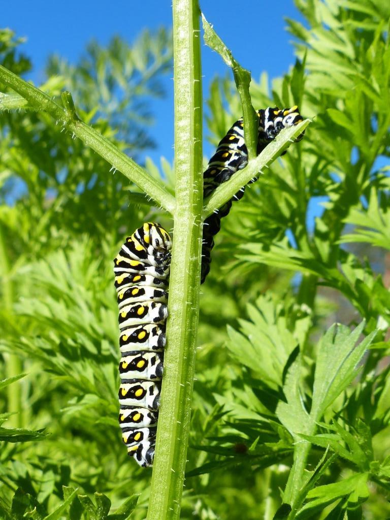 2014-10-22 swallowtail caterpillar 004