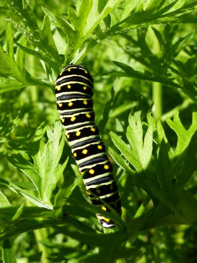 2014-10-22 swallowtail caterpillar 005