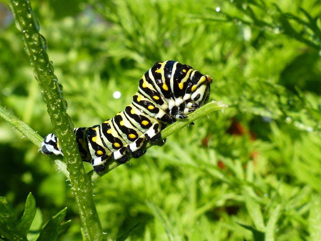 caterpillars taking their tithe of the carrot tops ramble