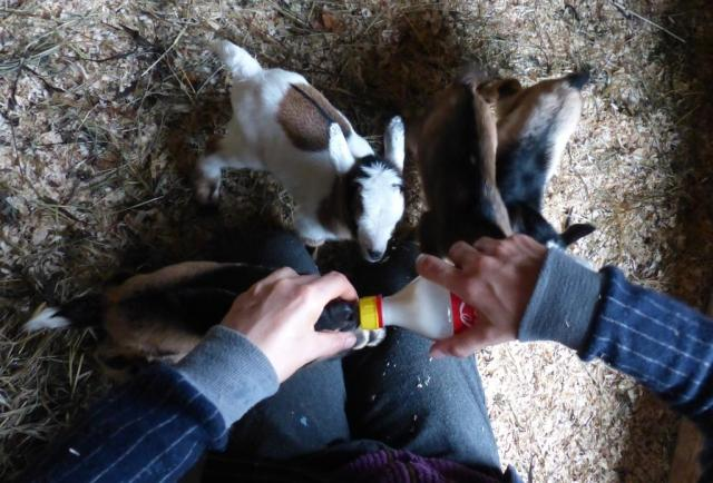 2015-03-20 Cassias quads goats 020