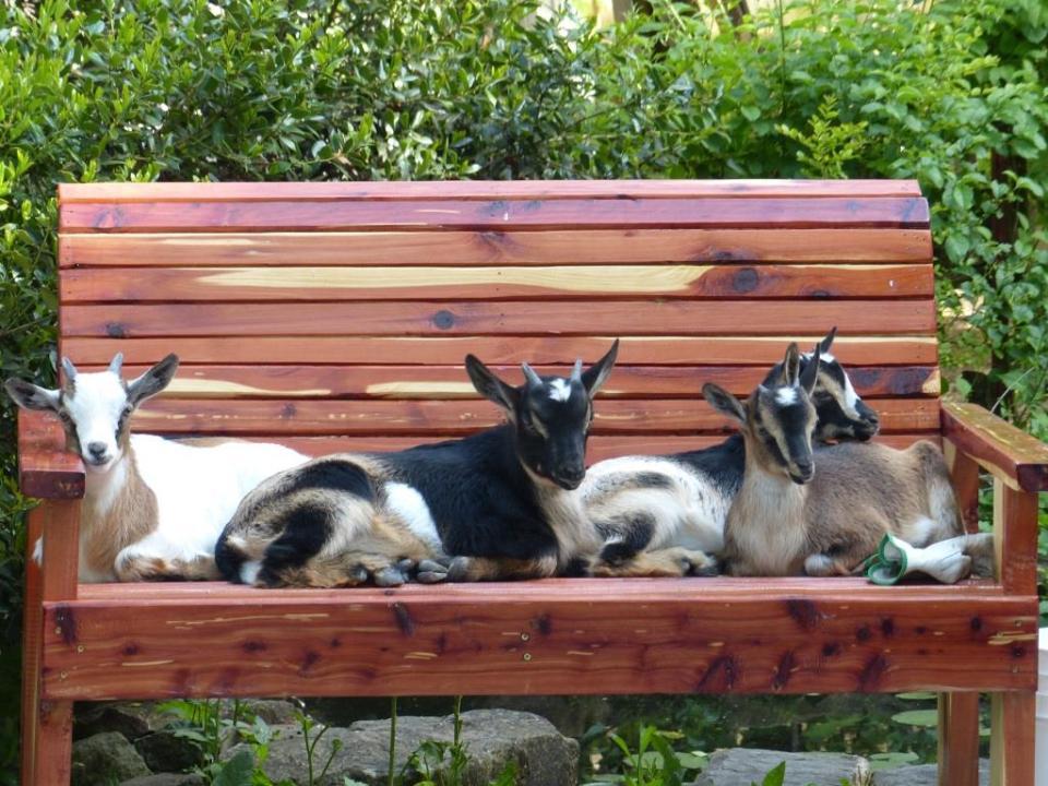 bench goats