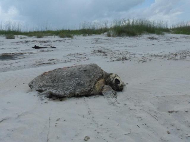 2015-06-12 turtle necropsy 002