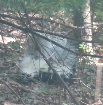 2015-06-24 Skunk and skunk babies 002