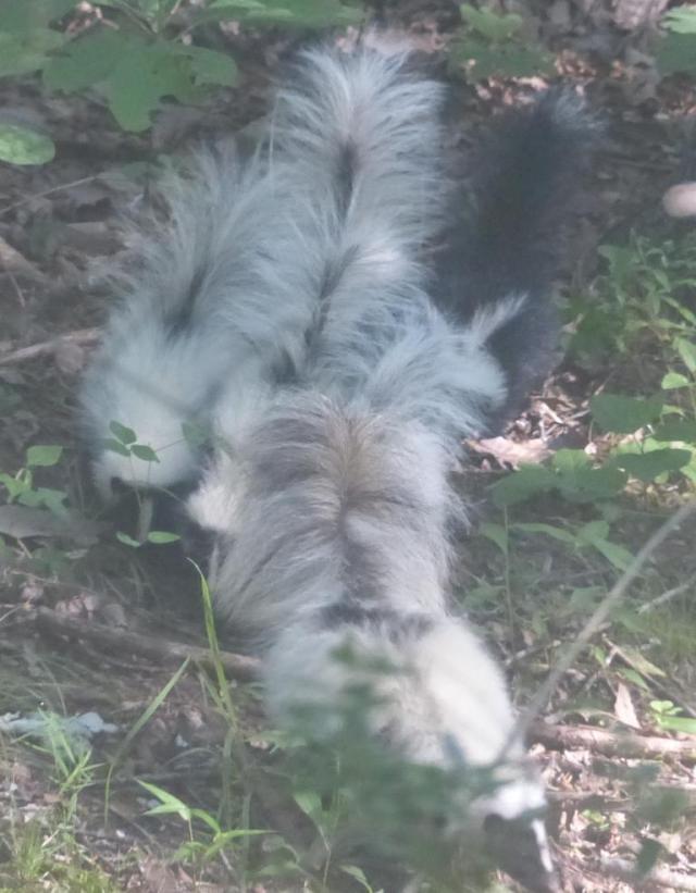 2015-06-24 Skunk and skunk babies 005