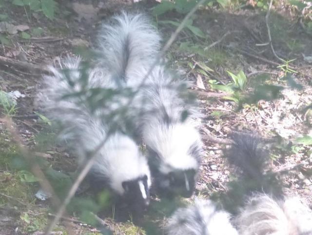 2015-06-24 Skunk and skunk babies 006